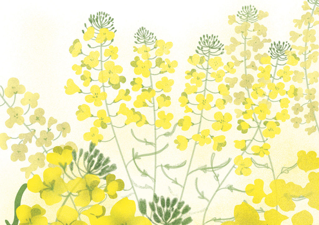 illustration colza en fleurs